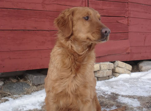 Ching - Wildfire Goldens