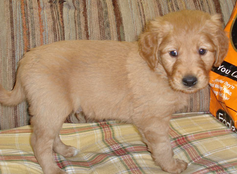 Golden Retreiver Puppies MN