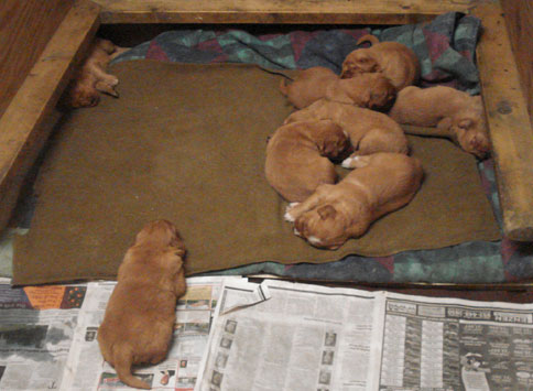 Golden Retriever Puppies MN