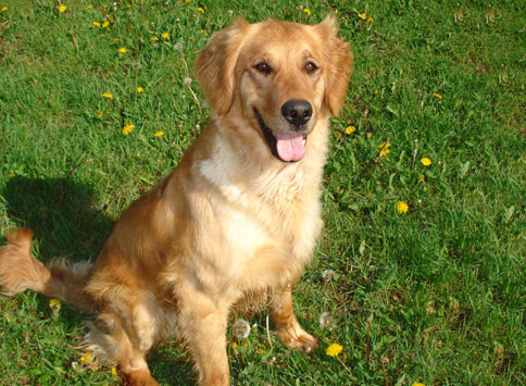 Wildfire Goldens Rita